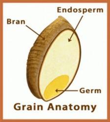 gluten endosperm